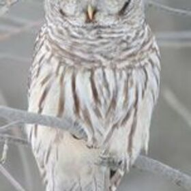 Profile picture of シマフクロウ